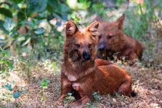 The Dholes, Cuon alpinus, Indian Wild dogs, Nagzira wildlife sanctuary , Maharashtra, India