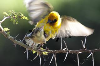 Somali Weber  Kopulation,Nakuru See,Speke's Weaver