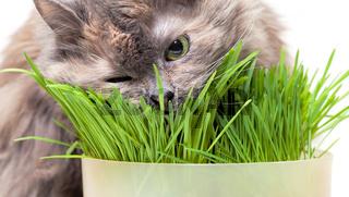 A pet cat eating fresh grass