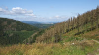 Harz Mountains - Dried out spruce trees on Rammelsberg near Goslar, Germany