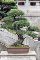 pine bonsai in spring