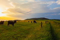 The herd of Cows on the pasture  in Central Bohemian Highlands, Czech Republic.
