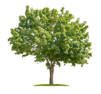 Isolated maple tree on a white background
