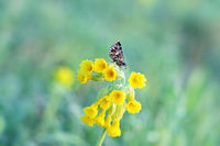 grizzled skipper on Cowslip