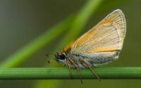 Butterfly Large Skipper