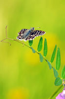 grizzled skipper on Common Vetch II