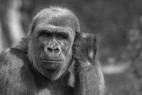 Gorilla portrait in black-and-white representation