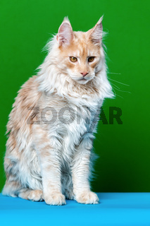 Portrait of adorable Maine Coon Cat sitting on light blue and green background. Front view