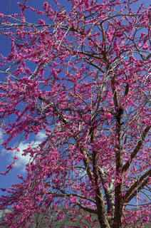 Violet flower tree (cercis siliquastrum)
