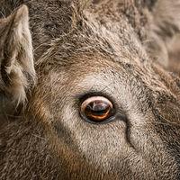 Eye of a deer