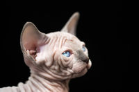 Portrait of kitty with blue eyes. Sphynx Cat breed blue mink with white color on black background
