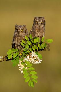 Pair of eurasian scops owl resting on blooming tree in spring