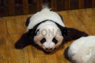 Cub of Panda