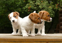 Crowd of jack russell terrier puppies