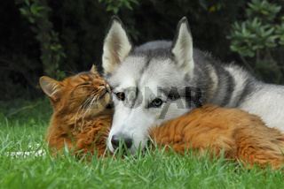 Somali cat and Siberian Husky cuddle up