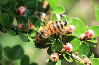 Biene auf Zwerkmispel, cotoneaster