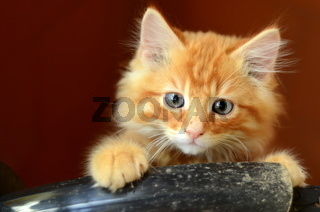Cute Fluffy Ginger Kitten With Copy Space