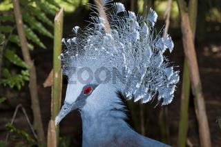 Victoria-Krontaube, Papua Neuguinea