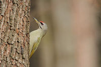Grey-faced woodpecker (Picus canus)