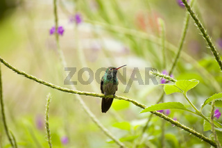 Kolibri im Nationalpark Vulkan Arenal beim Ort La Fortuna