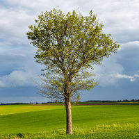 Green grass with solitary tree