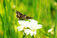 grizzled skipper on white flower I