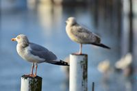 Two seagulls surveying the water