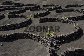 Weinanbau in Geria, Lanzarote