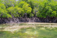 Mangroves with white sand in the Mida Creek reserve near Watamu in Kenya.