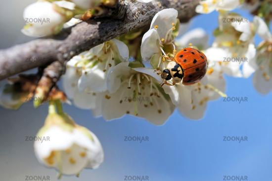 Asian ladybird in spring