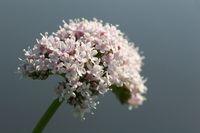 Blossom of valeriana