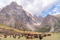 The huge sheep herd grazing on the field in Fann mountains in Tajikistan