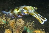 Reef Squid, Lembeh, North Sulawesi, Indonesia