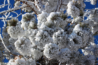 Heavy Snowfall on Pine