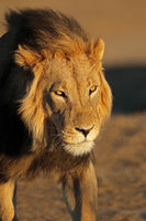 Portrait of a big male African lion (Panthera leo) in late afternoon light