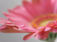 Macro of a gerbera flower with a drop of water