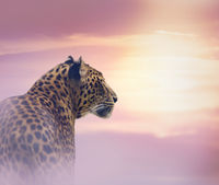 Leopard at sunset