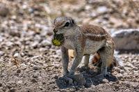 african ground squirrel, wildlife in Namibia