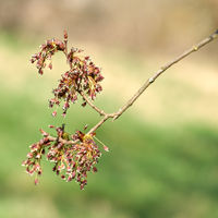 Flower of a fluttering elm (Ulmus laevis) in spring on the banks of the Elbe near Magdeburg