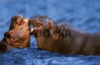 Afrikanische Flusspferde, Begruessung