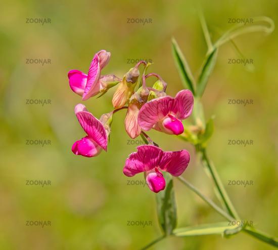 Perennial peavine 'Lathyrus latifolius'