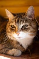 Lying cat portrait