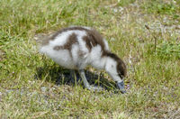 Paradise shelduck chick