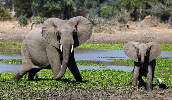 elephants at Lower Zambezi National Park, Zambia