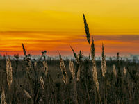 Morning dawn in a field with dried ears on the stalks of field grasses in ,early autumn
