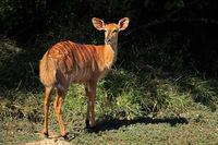 Female Nyala antelope (Tragelaphus angasii)