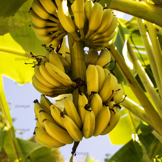 A bunch of bananas on the tree