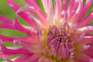 Macro photo of a pink dahlia. Flowers background