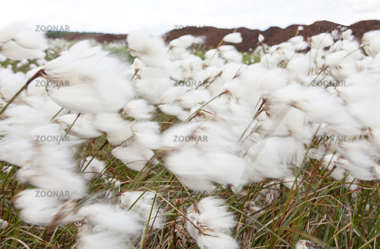 Cotton grass in wind / Eriophorum angustifolium