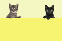 Two cute kittens hanging over a yellow board with space for text on an yellow background